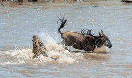 Antylopy Błękitny wildebeest, przechodził atak krokodyl (connochaetes taurinus) Fotografia Royalty Free