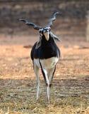 antylopy czarny samiec hindus Fotografia Stock