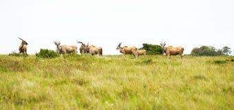 antylopy eland Zdjęcie Stock