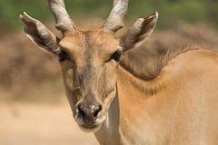 antylopy eland portret Zdjęcie Royalty Free