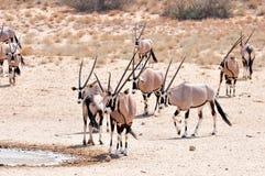 antylopy gazella gemsbok oryx Obrazy Stock