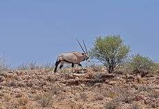 antylopy gazella gemsbok oryx Zdjęcie Royalty Free