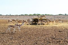 Antylopy grupa w safari parku na wyspie Sir Bania Yas, Zjednoczone Emiraty Arabskie fotografia stock