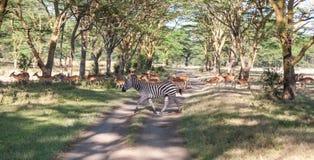 Antylopy i zebry na tle droga Obraz Stock