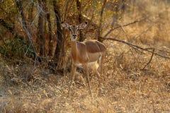Antylopy Impala w Kruger parku narodowym, Południowa Afryka Obraz Royalty Free