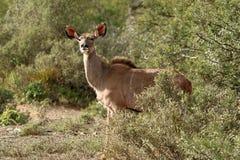 Antylopy Impala w Kruger parku narodowym, Południowa Afryka Obrazy Royalty Free