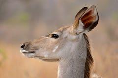 antylopy kudu Zdjęcie Royalty Free