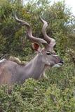 antylopy kudu samiec Fotografia Royalty Free