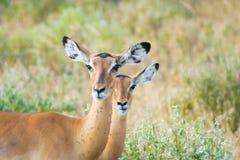 Antylopy na safari parku obraz stock