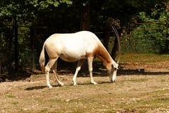 antylopy pustyni dammah również robi północnemu zwanemu oryx ranczo bułatowi usa Texasu dziki egzotyczne wymarły gra domu horn je zdjęcia stock