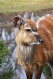 Antylopy Sitatunga Marshbuck Afryka przyroda Zdjęcie Royalty Free