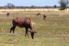 Antylopy tsessebe Afryka safari pustkowie i przyroda Fotografia Royalty Free