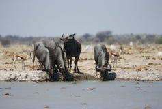 Antylopy w darknight sylwetkowym przeciw waterhole przy Nxai niecką fotografia stock
