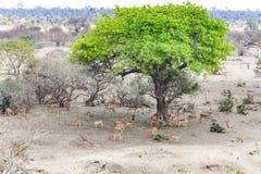 Antylopy w Kruger parku narodowym, Południowa Afryka Zdjęcia Stock