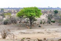 Antylopy w Kruger parku narodowym, Południowa Afryka Fotografia Royalty Free