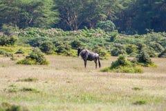 Antylopy wildebeest migracja w Kenja Zdjęcie Stock