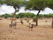 Antylopy wildebeest zakończenie na Tarangiri safari - Ngorongoro obrazy stock