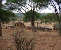 Antylopy wildebeest zakończenie na Tarangiri safari - Ngorongoro Zdjęcia Stock