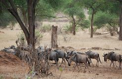Antylopy wildebeest zakończenie na Tarangiri safari - Ngorongoro Obraz Royalty Free