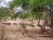 Antylopy wildebeest zakończenie na Tarangiri safari - Ngorongoro Fotografia Stock