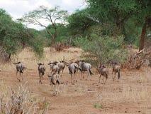 Antylopy wildebeest zakończenie na Tarangiri safari - Ngorongoro Zdjęcie Stock