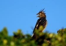 Anu bird. At Mole Beach, Florianópolis, Brazil Royalty Free Stock Image