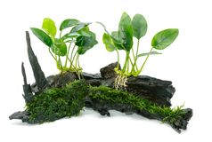 Anubias barteri aquarium plants and green moss. On small driftwood Royalty Free Stock Photography