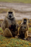 Anubis do papio do babuíno com filhotes Fotografia de Stock