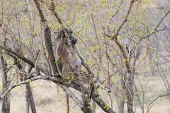 Anubis van bavianenpapio stock fotografie