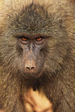 Anubus baboon Royalty Free Stock Image