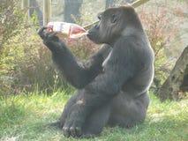 Anuncio de una bebida por el gorila foto de archivo libre de regalías