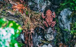 Anura pequeno vermelho comum da rã no seu cerco natrual fotos de stock royalty free