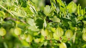Användbara produkter - saftiga bär av krusbär växer på en buske arkivfoto