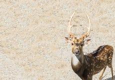 Använde bruna manliga hjortar för singel på hörnet som ser dig med Copyspace, som mall Arkivbilder
