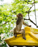 Anxious baby monkey looking in the camera. Kathmandu, Nepal Stock Image