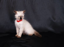 Anxious birman cat portrait. Over black studio background Royalty Free Stock Image