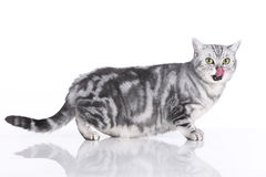 Anxious cat sideways isolated Royalty Free Stock Images