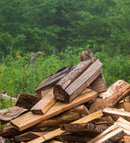 Anxious chipmunk on the heap of log Stock Photo