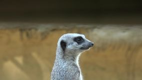 Anxious and Fearful Meerkat at Zoo. Stock video of fearful meerkat at zoo stock video footage