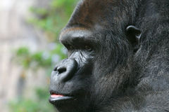 Anxious gorilla. Anxious looking male gorilla face close up Royalty Free Stock Photography
