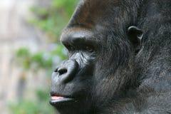 Anxious Gorilla Royalty Free Stock Photography