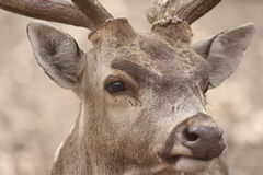 Anxious look of deer Royalty Free Stock Photography