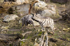 Anxious  Striped Hyaena, Hyaena Hyaena, to fight Stock Photography