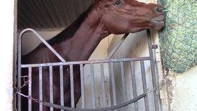 Anxious thoroughbred racing horse eats hay. A female thoroughbred racing horse eats from hay container stock footage