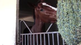 Anxious thoroughbred racing horse eats hay. A nervous female thoroughbred racing horse eats hay from container stock video footage