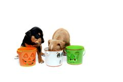 Anxious for Treats. Two small puppies search trick-or-treat pails hoping for some left over treats. Pails have cute grins but are empty. All white room royalty free stock image