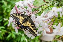 Anyżowy Swallowtail motyli odpoczywać na Jaśminowych kwiatach, Kalifornia fotografia stock