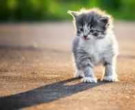 Angry Kitten. Any kitten looking straight on Royalty Free Stock Photo