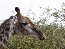 Portrait of South African giraffe, Giraffa camelopardalis giraffa, Botswana. Any Portrait of South African giraffe, Giraffa camelopardalis giraffa, Botswana Royalty Free Stock Image