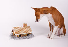 Is anyone home. A basenji dog carefully inspecting a gingerbread house royalty free stock images